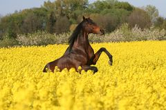 Prancing horse in colza field Stock Image