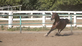 Prancing horse on the sand. Arabian horse galloping trotting galloping big legs muzzle stock video