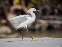 Prancing snowy egret on the beach Stock Photos