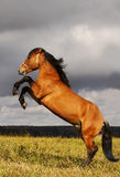 Prancing stallion Stock Photos