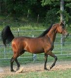 Prancing Stallion. Trotting arabain stallion Stock Photography