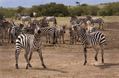 Prancing zebra Stock Photos