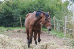 Pranzare del cavallo di Brown Fotografia Stock Libera da Diritti
