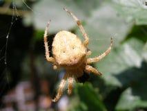 Pranzare del ragno Fotografia Stock Libera da Diritti
