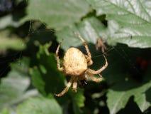 Pranzare del ragno Fotografia Stock