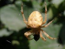 Pranzare del ragno Fotografie Stock Libere da Diritti