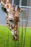 Pranzo 3 della giraffa Fotografia Stock Libera da Diritti