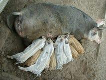 Pranzo dei porcellini Fotografia Stock