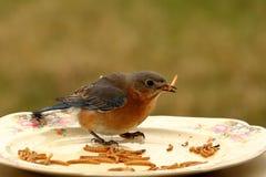 Pranzo dell'uccellino azzurro Fotografie Stock Libere da Diritti