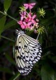 Pranzo della farfalla Immagini Stock Libere da Diritti