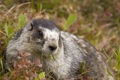 Pranzo della marmotta Hoary Fotografie Stock Libere da Diritti