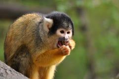 Pranzo di sollevamento della scimmia del Saimiri Immagine Stock