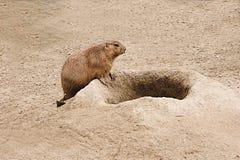 prarie собаки Стоковая Фотография RF