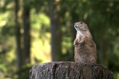 Prarie Dog. Prairie dog on the lookout stock photography