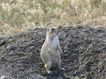 Prarie Dog Royalty Free Stock Image