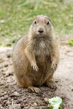 Prarie dog Royalty Free Stock Photography