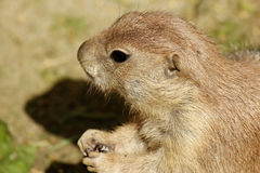 Prarie dog Stock Photo