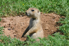 Free Prarie Dog Royalty Free Stock Photography - 50104267