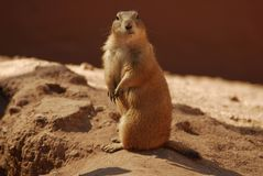 Prarie Dog Royalty Free Stock Photos