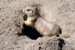 Prarie dog Stock Image