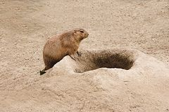 Prarie dog. Going home Royalty Free Stock Photography