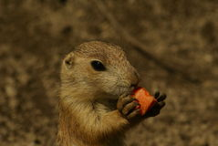 Prarie dog  baby Royalty Free Stock Images