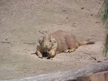 Prarie dog chewing straw green bay Royalty Free Stock Image