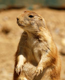 Prarie Dog Days. This Prairie Dog is chillin like a viillin stock image