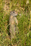 Prarie Dog Grass Tetons National Elk Refuge Jackson Wyoming Royalty Free Stock Photos