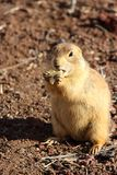Prarie dog having a bit of lunch. These animals native to the grasslands of North America Stock Photo