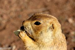 Prarie dog having a bit of lunch. These animals native to the grasslands of North America Royalty Free Stock Photography