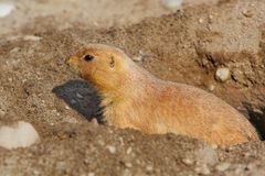 Prarie dog in his hole Stock Photography
