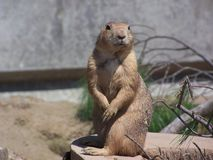 Prarie dog looking at me. Stock Photo