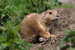 Prarie dog looking out of shelter Stock Photo