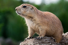 Free Prarie Dog Looking Sitting Of The Ground Stock Photos - 11001203