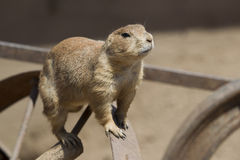 A Prarie Dog Looking at you Royalty Free Stock Images