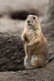 Prarie dog stading next to hole. Prarie dog standing next to its hole. These animals native to the grasslands of North America Royalty Free Stock Images