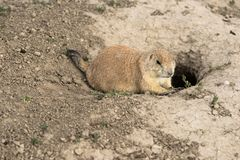 Prarie Dog Stand Sentry Underground Home Entrance Stock Image