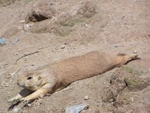 Prarie dog streching out on soil. Prarie dog relaxing and streching out Royalty Free Stock Photography