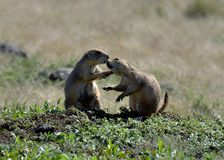 Prarie Dogs Kissing at the wichita mountains wildlife refuge royalty free stock photography