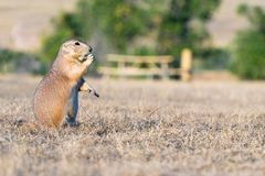 Prarie Dogs in South Dakota's Badlands. Visiting the Badlands in South Dakota in September 2018 stock photography