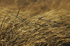 Prarie Grass royalty free stock photos