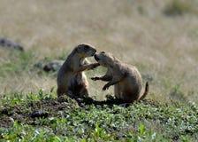 Prarie hundkapplöpning som kysser på fristaden för wichita bergdjurliv royaltyfri fotografi