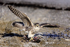 Prarie Merlin Falcon. Prairie Merlin Falcon guarding its prey Stock Photos