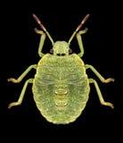 Prasina di Palomena dell'insetto Immagine Stock