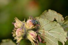 Prasina vert de Palomena d'insecte de puanteur sur corylus avellana de noisettes photos libres de droits