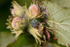 Prasina vert de Palomena d'insecte de puanteur sur corylus avellana de noisettes photos stock