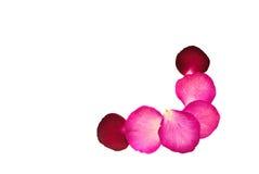 prasowa kwiat czerwień wzrastał Fotografia Royalty Free