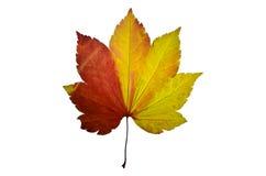 Prasowego liść klonowy drzewo Obrazy Royalty Free
