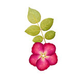Prasowy kwiat od róży i zieleń liścia Obrazy Stock